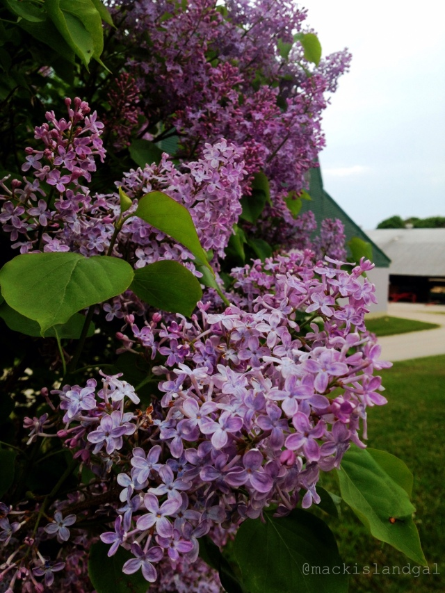 mackinac-island-gal-blog-lilacs-1