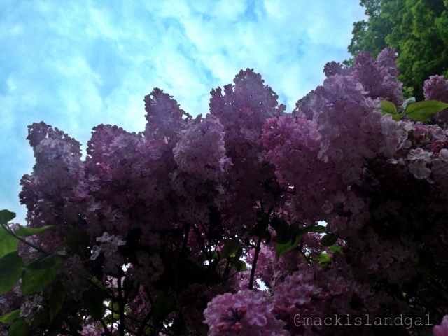 mackinac-island-gal-blog-lilacs-2