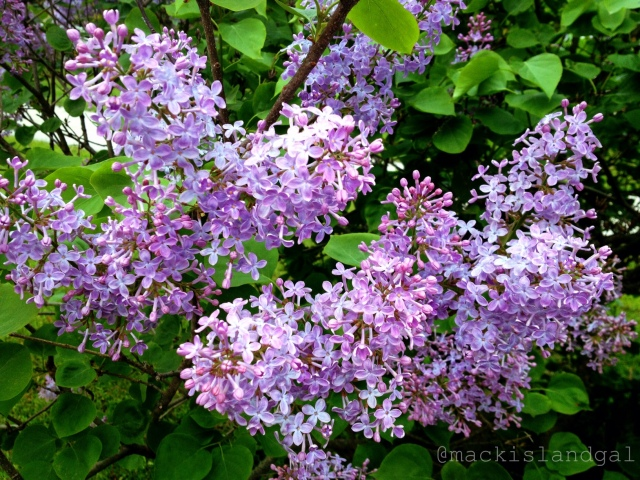 mackinac-island-gal-blog-lilacs-3