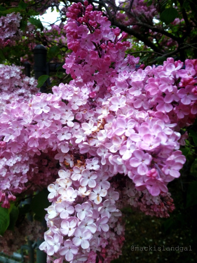 mackinac-island-gal-blog-lilacs-6