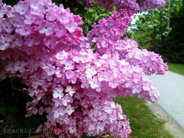 mackinac-island-gal-blog-lilacs-7