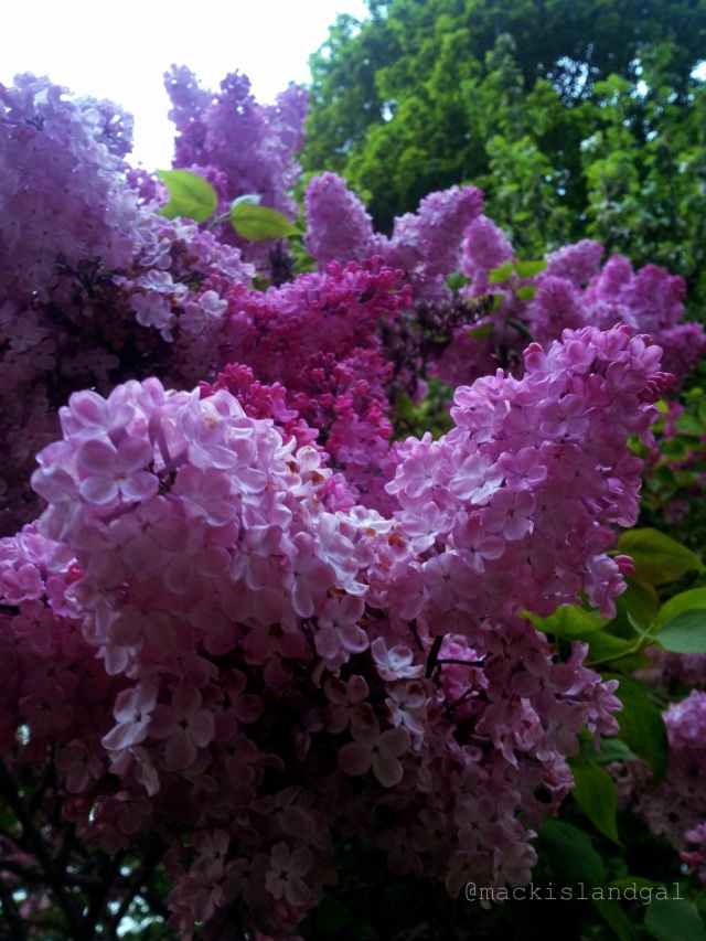mackinac-island-gal-blog-lilacs-8