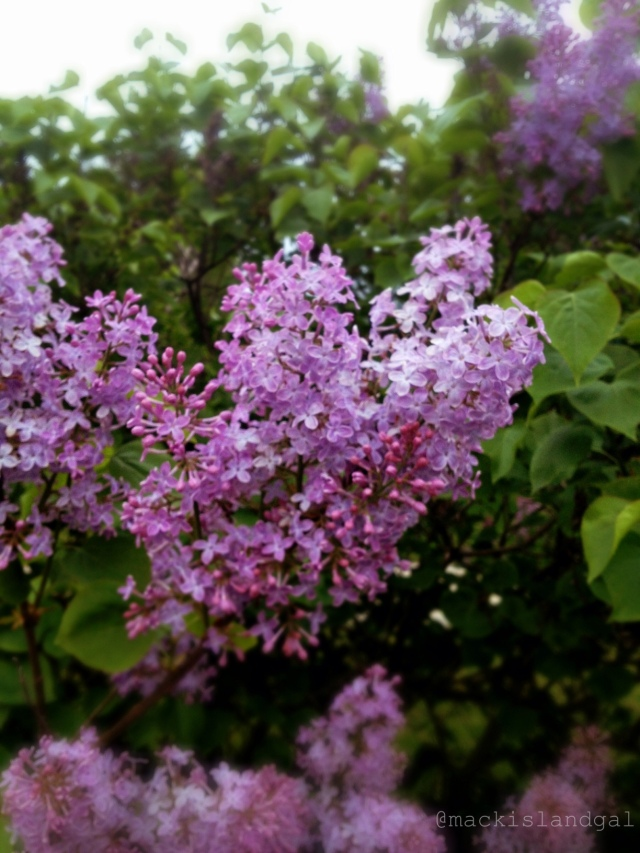 mackinac-island-gal-blog-lilacs